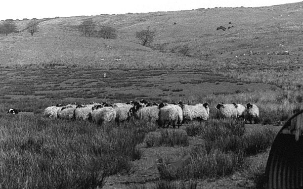Waddington Fell with young Shep, gathering Swaledale hogs.